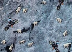 Progress report: Evolution of the human billy goat